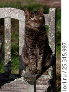 Купить «Kurilian Bobtail Cat (origins: Russia) sitting on arm of old, lichen-encrusted bench, Connecticut, USA», фото № 25315997, снято 20 августа 2018 г. (c) Nature Picture Library / Фотобанк Лори