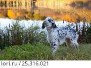 Купить «English Setter standing in dew-wet grass next to pond reflecting autumn colours, Connecticut, USA», фото № 25316021, снято 25 марта 2019 г. (c) Nature Picture Library / Фотобанк Лори