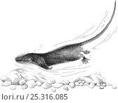 Купить «Illustration of Aquatic / Web-footed / Otter Tenrec (Limnogale mergulus) swimming underwater. Endangered / threatened species.», фото № 25316085, снято 21 июля 2018 г. (c) Nature Picture Library / Фотобанк Лори