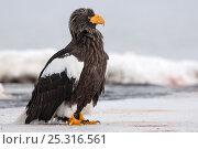 Купить «Steller's sea eagle (Haliaeetus pelagicus) portrait, on ice, Lake Kuril, Kamchatka, Far East Russia, January», фото № 25316561, снято 18 октября 2019 г. (c) Nature Picture Library / Фотобанк Лори