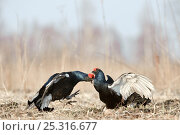 Купить «Black grouse (Tetrao tetrix) two males displaying at lek and showing aggression, Kurgan province, southern Russia, May», фото № 25316677, снято 23 января 2019 г. (c) Nature Picture Library / Фотобанк Лори