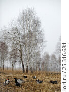Купить «Black grouse (Tetrao tetrix) males displaying at lek amongst birch trees, Kurgan province, southern Russia, May», фото № 25316681, снято 16 июня 2019 г. (c) Nature Picture Library / Фотобанк Лори