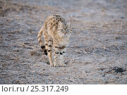 Купить «Desert / Asiatic Wild Cat (Felis silvestris ornata) portrait standing, stretching  with back arched, Rajasthan, India», фото № 25317249, снято 18 апреля 2019 г. (c) Nature Picture Library / Фотобанк Лори