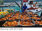 Catch of lobsters being unloaded in the fishing village of Kalk Bay, False Bay, South Africa. Стоковое фото, фотограф Juan Carlos Munoz / Nature Picture Library / Фотобанк Лори