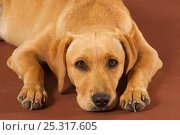 Купить «Yellow Labrador retriever puppy lying down, studio portrait», фото № 25317605, снято 16 февраля 2019 г. (c) Nature Picture Library / Фотобанк Лори