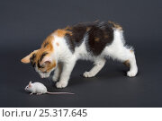 Купить «Domestic cat, tortoiseshell kitten playing with white mouse», фото № 25317645, снято 5 декабря 2019 г. (c) Nature Picture Library / Фотобанк Лори