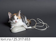 Купить «Domestic cat, tortoiseshell kitten playing with computer mouse», фото № 25317653, снято 6 декабря 2019 г. (c) Nature Picture Library / Фотобанк Лори