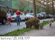 Children watch and photograph Wild boar (Sus scrofa) sow and piglets foraging in a city beside road, Argentinischen Allee, Berlin, Germany, March 2007. Стоковое фото, фотограф Florian Möllers / Nature Picture Library / Фотобанк Лори