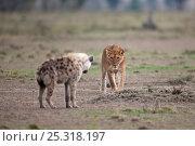 Купить «Lioness (Panthera leo) approaching a Spotted hyaena (Crocuta crocuta). Masai Mara National Reserve, Kenya, October 2009», фото № 25318197, снято 15 августа 2018 г. (c) Nature Picture Library / Фотобанк Лори