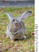 Купить «Flemish giant rabbit (Oryctolagus cuniculus) elderly, portrait sitting on grass, France», фото № 25318561, снято 23 марта 2019 г. (c) Nature Picture Library / Фотобанк Лори
