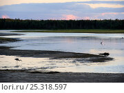 Купить «Great blue heron (Ardea herodias) foraging on shoreline in evening light, St Lawrence gulf, Kouchibouguac National Park, New Brunswick, Canada, September», фото № 25318597, снято 23 марта 2019 г. (c) Nature Picture Library / Фотобанк Лори