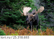 Купить «Moose (Alces alces) bull standing in forest clearing, Cap Breton Highlands National Park, Nova Scotia, Canada, September», фото № 25318693, снято 17 октября 2018 г. (c) Nature Picture Library / Фотобанк Лори