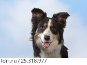 Купить «Border collie, head portrait, Norfolk, UK, May», фото № 25318977, снято 16 февраля 2019 г. (c) Nature Picture Library / Фотобанк Лори
