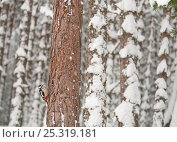 Купить «Great-Spotted Woodpecker (Dendrocopus major) in winter pine forest. Cairngorms National Park, Scotland, January.», фото № 25319181, снято 14 ноября 2018 г. (c) Nature Picture Library / Фотобанк Лори