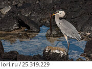 Купить «Great blue heron (Ardea herodias) feeding on Moray eel (Muraenidae) Puerto Ayora. Santa Cruz Island, Galapagos Islands», фото № 25319229, снято 17 июня 2019 г. (c) Nature Picture Library / Фотобанк Лори