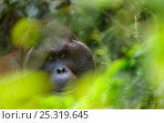 Orang utan (Pongo pygmaeus) head portrait of dominant male Richie, Semengoh Nature reserve, Sarawak, Borneo, Malaysia, Endangered. Стоковое фото, фотограф Edwin Giesbers / Nature Picture Library / Фотобанк Лори