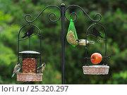 Купить «Great tits (Parus major) feeding on bird feeder in garden, Belgium July», фото № 25320297, снято 24 июня 2018 г. (c) Nature Picture Library / Фотобанк Лори