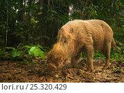 Bearded pig (Sus barbatus) portrait standing in tropical forest habitat, Bako National Park, Sarawak, Borneo, Malaysia. Стоковое фото, фотограф Edwin Giesbers / Nature Picture Library / Фотобанк Лори