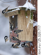 Купить «Coal Tits (Periparus ater) on feeder in winter. Glenfeshie, Scotland, February.», фото № 25320717, снято 18 октября 2018 г. (c) Nature Picture Library / Фотобанк Лори
