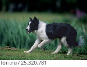 Купить «Domestic dog, Border Collie standing on grass», фото № 25320781, снято 16 июля 2018 г. (c) Nature Picture Library / Фотобанк Лори