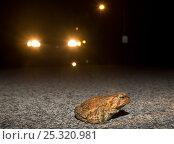 Купить «American toad (Bufo americanus) crossing road at night in front of car headlights, Philadelphia, Pennsylvania, USA, March», фото № 25320981, снято 13 декабря 2017 г. (c) Nature Picture Library / Фотобанк Лори