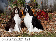 Купить «Pair of English Springer Spaniels, one black and white, one liver and white, amongst autumn leaves with pumpkins in cart, Illinois, USA», фото № 25321121, снято 25 марта 2019 г. (c) Nature Picture Library / Фотобанк Лори