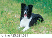 Купить «Border collie, female resting, Norfolk, UK», фото № 25321581, снято 27 апреля 2018 г. (c) Nature Picture Library / Фотобанк Лори