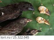 Купить «Finch specimens (Emberizidae) at the Charles Darwin Research Station, Puerto Ayora, Santa Cruz Island, Galapagos Islands», фото № 25322045, снято 18 февраля 2019 г. (c) Nature Picture Library / Фотобанк Лори