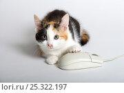 Купить «Domestic cat, tortoiseshell kitten playing with computer mouse», фото № 25322197, снято 6 декабря 2019 г. (c) Nature Picture Library / Фотобанк Лори