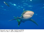 Купить «Oceanic whitetip shark (Carcharhinus longimanus) with Pilot fish (Naucrates ductor) in the open Atlantic Ocean, close to the Bahamas. Near Cat Island, Bahamas.», фото № 25322677, снято 26 сентября 2018 г. (c) Nature Picture Library / Фотобанк Лори