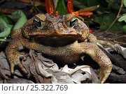 Cane toad (Bufo marinus) head portrait, French Guiana, South America, Стоковое фото, фотограф Daniel Heuclin / Nature Picture Library / Фотобанк Лори