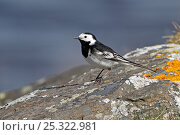 Купить «Pied Wagtail (Motacilla alba) standing on lichen covered rock by lake on moorland, Denbigh Moors, North Wales, UK, April 2010», фото № 25322981, снято 18 августа 2018 г. (c) Nature Picture Library / Фотобанк Лори