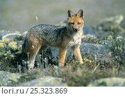 Culpeo / Andean fox (Pseudalopex culpaeus) wild, 3300m, Cotopaxi NP, Andes, Ecuador. Стоковое фото, фотограф Kevin Schafer / Nature Picture Library / Фотобанк Лори