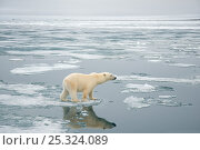 Купить «Polar bear (Ursus maritimus) sow hunting for seals on sea ice floating off the coast of Svalbard, Arctic», фото № 25324089, снято 6 июня 2020 г. (c) Nature Picture Library / Фотобанк Лори