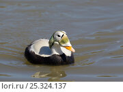 Купить «Spectacled Eider duck (Somateria fischeri) male in breeding plumage on water. Captive and native to Alaska and Eastern Siberia.», фото № 25324137, снято 13 ноября 2018 г. (c) Nature Picture Library / Фотобанк Лори