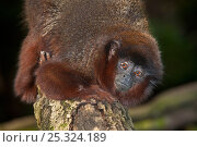 Купить «Red / Coppery Titi monkey (Callicebus cupreus) head portrait climbing down tree trunk. Captive, found in Brazil and Peru.», фото № 25324189, снято 20 января 2020 г. (c) Nature Picture Library / Фотобанк Лори