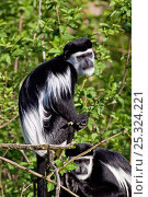 Купить «Eastern Black-and-white Colobus (Colobus guereza) portrait, sitting in tree top. Captive, found in Central and East Africa.», фото № 25324221, снято 21 января 2020 г. (c) Nature Picture Library / Фотобанк Лори