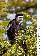 Купить «Eastern Black-and-white Colobus (Colobus guereza) sitting in tree top. Captive, found in Central and East Africa.», фото № 25324225, снято 21 января 2020 г. (c) Nature Picture Library / Фотобанк Лори