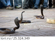 Купить «Cobras (Naga) surrounded by crowd of observers, Djemaa el Fna, Marrakech, Morocco, March 2010.», фото № 25324349, снято 23 марта 2019 г. (c) Nature Picture Library / Фотобанк Лори