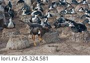Купить «Johnny Rook / Striated / Forster's Caracara (Phalcoboenus australis) stealing an egg from a King Cormorant (Phalacrocorax (atriceps) albiventer) nest....», фото № 25324581, снято 23 сентября 2018 г. (c) Nature Picture Library / Фотобанк Лори