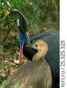 Купить «Southern / Australian / Double-wattled cassowary (Casuarius casuarius) female with 8-month chick in rainforest habitat, Atherton Tablelands, Queensland, Australia, Wild, Vulnerable species», фото № 25325329, снято 16 октября 2019 г. (c) Nature Picture Library / Фотобанк Лори
