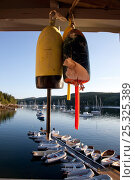 Купить «Hanging lobster buoys overlooking Maine harbour. Northeast Harbour, Maine, August 2010.», фото № 25325389, снято 16 августа 2018 г. (c) Nature Picture Library / Фотобанк Лори