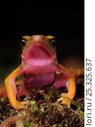 Cayenne stubfoot toad (Atelopus flavescens) Head portrait showing pink colouration of throat, North French Guiana, South America. Стоковое фото, фотограф Daniel Heuclin / Nature Picture Library / Фотобанк Лори