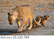 Купить «African lion [Panthera leo] mother leading two very young cubs to water, Etosha National Park, Namibia, August», фото № 25325789, снято 15 декабря 2017 г. (c) Nature Picture Library / Фотобанк Лори