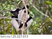 Купить «Indri (Indri indri) climbing tree, tropical rainforest, Andasibe-Mantadia National Park, Eastern Madagascar. IUCN Endangered Species.», фото № 25327013, снято 25 января 2020 г. (c) Nature Picture Library / Фотобанк Лори