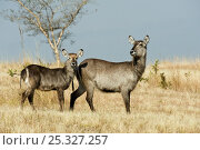 Common waterbuck (Kobus ellipsiprymnus) female and young, Mlilwane Wildlife Sanctuary, Swaziland. Стоковое фото, фотограф Mark Carwardine / Nature Picture Library / Фотобанк Лори