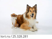 Купить «Rough Collie lying down with tan and white coated  Chihuahua, longhaired.», фото № 25328281, снято 16 июля 2018 г. (c) Nature Picture Library / Фотобанк Лори
