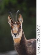 Pyrenean chamois (Rupicapra pyrenaica) head portrait, Pyrenean mountains, France. Стоковое фото, фотограф Daniel Heuclin / Nature Picture Library / Фотобанк Лори