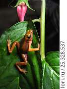 Cayenne stubfoot toad (Atelopus flavescens) climbing plant, North French Guiana, South America. Стоковое фото, фотограф Daniel Heuclin / Nature Picture Library / Фотобанк Лори
