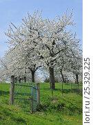 Купить «Orchard with Cherry trees flowering (Prunus / Cerasus avium) Haspengouw, Belgium», фото № 25329225, снято 24 сентября 2018 г. (c) Nature Picture Library / Фотобанк Лори